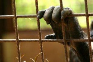 gorillas rejas