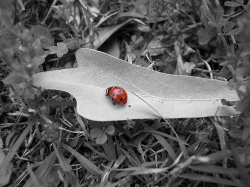 insect_ladybug_almostbnw_415635_l