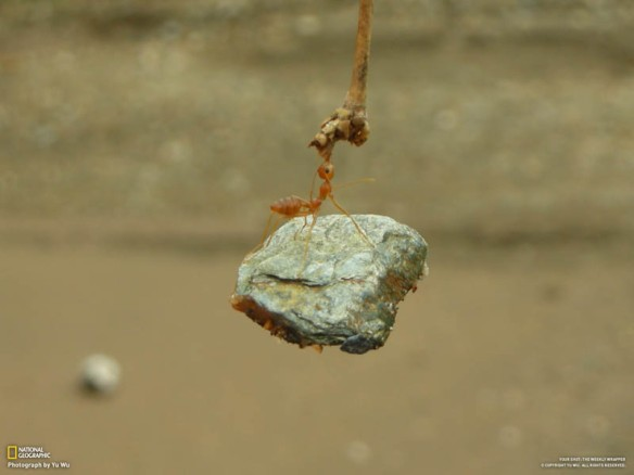 ant-biting-branch-and-holding-onto-lifting-rock